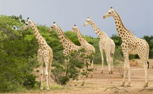 West African wildlife